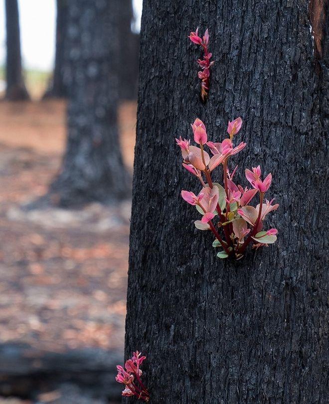 رویش دوبارۀ گلها از تنۀ درختان سوخته در آتش سوزی بزرگ جنگلهای استرالیا
